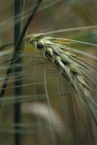 Sexradigt korn, Hordeum vulgare var. vulgare