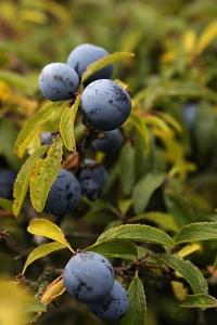 Slån, Prunus spinosa