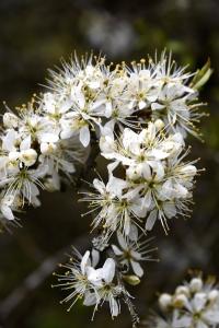 Slån, Prunus spinosa, slånbär