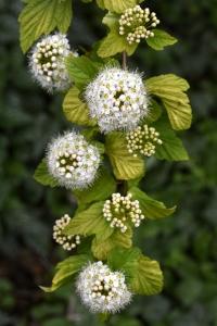 Smällspirea, Physocarpus opulifolius
