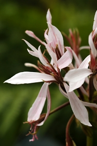 Pelargon 'Snow witch', pelargonium