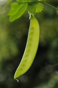 Sockerärt, Pisum sativum
