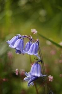 Spansk klockhyacint, Hyacinthoides hispanica