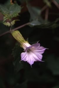 Spikklubba, Datura stramonium