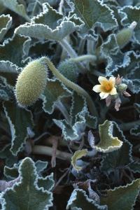 Sprutgurka, Ecballium elaterium