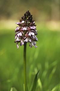 Stornycklar, Orchis purpurea