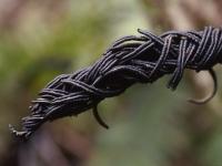 Strutbräken, Matteuccia struthiopteris