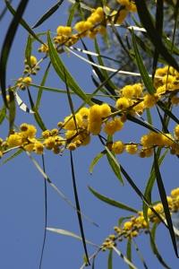 Tårakacia, Acasia saligna, akasia
