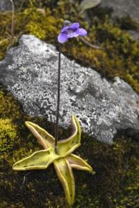 Tätört, Pinguicula vulgaris
