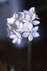Tazett, Narcissus papyraceus