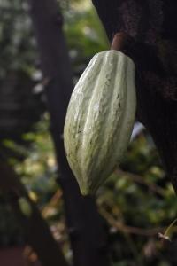 Kakao, Theobroma cacao