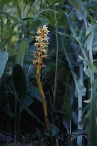 Tistelsnyltrot, Orobanche reticulata