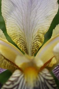 Trädgårdsiris, Iris germanica
