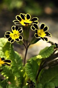 Trädgårdsviva 'Gold Lace Black', Primula x polyantha, Primula elatior