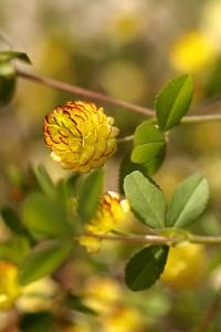 Trifolium campestre, Jordklöver