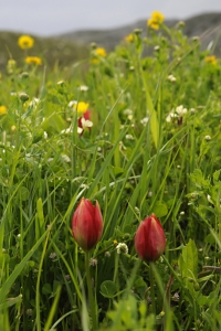 Tulpan, Tulipa doerfleri