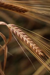 Tvåradigt korn, Hordeum vulgare var. distichon