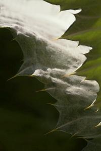 Ulltistel, Onopordum acanthium