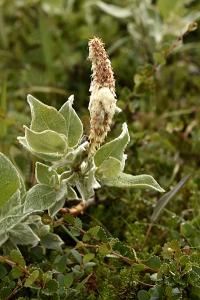 Ullvide, Salix lanata, vide