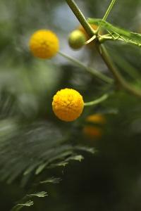 Vachellia macracanha, acacia