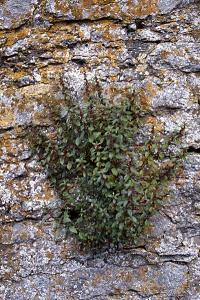 Väggört, Parietaria officinalis