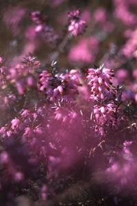 Vårljung, Erica carnea