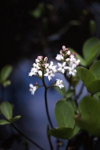 Vattenklöver, Menyanthes trifoliata