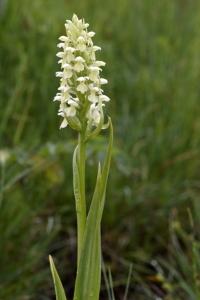 Vaxnycklar, Dactylorhiza incarnata var. ochroleuca
