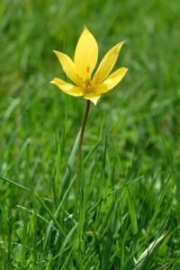 Vildtulpan, Tulipa sylvestris