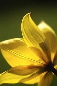 Vildtulpan, Tulipa sylvestris, tulpan, tulpaner
