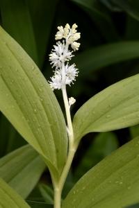 Vipprams, Maianthemum racemosum